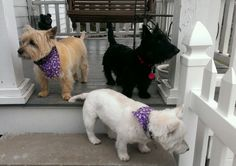 ONE OF EACH? - Westie, Scottie and Cairn Terriers