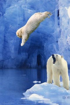 "Little jumping polar bear--looks like Moms yelling at him ""How many times have I told you not to jump from the cliff!!!!!"""