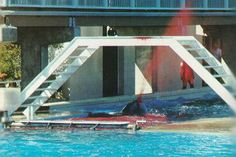 Kandu bleeds to death after another female severs a major artery at Sea World San Diego on Aug. 21, 1989... The death rate of whales in captivity is 2.5 times higher than those in the wild and the majority of deaths are painful, premature and caused by captivity itself. Captivity Kills.