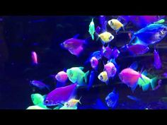 Fluorescent Glowing Tetras in an Aquarium in Ultra HD Fish Chart, Happy New Home, Fish Wallpaper, Pet Dogs, Pets, Vivarium, Aquaponics, Aquariums, Beautiful Birds