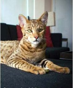 $20,000 for this cat.... Ashera is breed