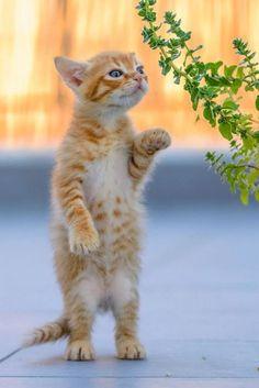 Don't cats look cute when standing on their back legs… www.TexasTrim.net PinterestBob Vietnam Vet B52s.