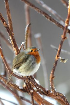 Roodborstje, Robin, Rødkælk, Rødhals, bird, Winter, snow, beauty, cute, nuttet, photo