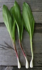 Wild ramps are a delicate-looking plant that add some serious flavor to salads, pasta, lamb and more. They have a strong garlic flavor, and can be consumed from tip to tip.  With their small white bulb, ramps resemble green onions but the leaves are something else altogether -- long, oval, and almost silky, with pointed ends. The pistil or stem is either red or purple.
