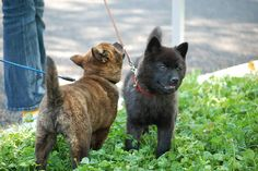 Kai Ken, 甲斐犬, Tora Inu Dog Japanese Dog Breeds, Japanese Dogs, Cute Puppies, Dogs And Puppies, Cute Dogs, Doggies, Kai Ken, Greenland Dog, Group Of Dogs