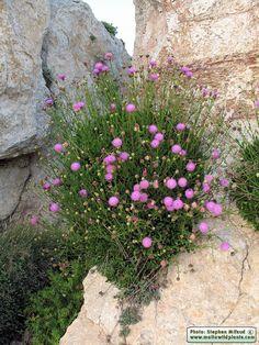 Cheirolophus crassifolius  / Maltese Rock-Centaury / Widnet il-Baħar