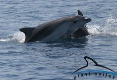 Miesto v Chorvátsku charakteristické pre delfíny sa nachádza v okolí ostrovov Cres a Lošinj.