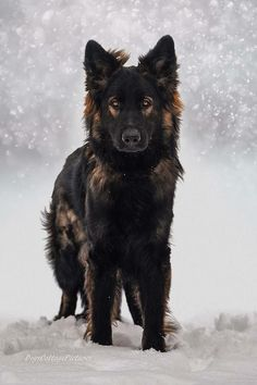 Black Sable DDR long coat GSD