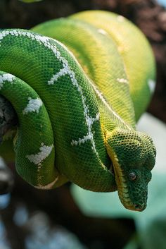 Emerald Tree Boa at ZSL London Zoo by Sophie L. Miller, via Flickr