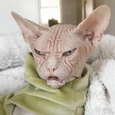 Meet Loki the Sphynx, The Grumpiest Cat Hairless Cats For Sale, Cute Hairless Cat, Funny Birds, Funny Animals, Cute Animals, Funny Dogs, Cute Kittens, Cats And Kittens, Spinx Cat