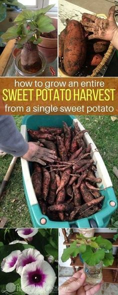 Sweet Potato Produced all of This. - How to Grow Sweet Potatoes from Sweet Potato Slips -One Sweet Potato Produced all of This. - How to Grow Sweet Potatoes from Sweet Potato Slips - Growing Veggies, Growing Plants, Growing Tomatoes, Sweet Potato Slips, Sweet Potato Plant, Sweet Potato Flower, Growing Sweet Potatoes, Grow Potatoes, Potager Bio