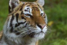 Scientists have unraveled the first whole genome of a Amur tiger and compared it with the genomes of other big cats including the white Bengal tiger, lions, and snow leopards. Credit: © kyslynskyy / Fotolia