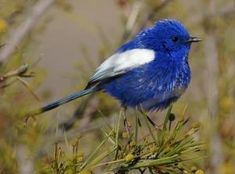The White-winged Fairywren (Malurus leucopterus) is a species of passerine bird in the fairywren family Maluridae. It lives in the drier parts of central Australia; from central Queensland and South Australia across to Western Australia. It occurs in heathland and arid scrubland, where low shrubs provide cover (photo by David Cook) by claudia