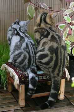 Marbled Bengals...gorge