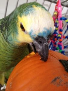Pumpkins as enrichment & foraging toys... Wow, great idea! Ideas on how best to introduce them at this site :)