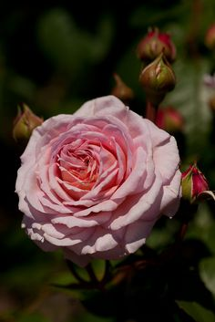 English climbing rose 'James Galway'