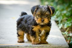 8 Week old yorkie puppy. Photo by Sami Ansari of Hot Rock Pictures… Cute Little Puppies, Cute Dogs And Puppies, Little Dogs, I Love Dogs, Corgi Puppies, Mini Puppies, Yorkies, Yorkie Puppy, Teacup Yorkie