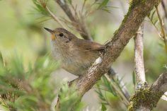 Foto garrincha-chorona (Asthenes moreirae) por Arthur Macarrão | Wiki Aves - A Enciclopédia das Aves do Brasil