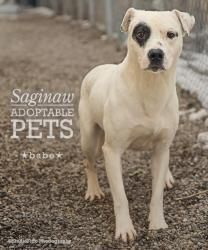 Babe is an adoptable Pit Bull Terrier Dog in Saginaw, MI. Babe is an adult male Pit Bull mix. He appears to be about 2 years old and weighs around 35 pounds. Babe is very sweet and loves to sit by y...
