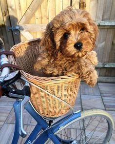 The Cavapoo is a crossbreed that results from breeding a Poodle and a Cavalier King Charles Spaniel. Cavapoos were initially created to be hypoallergenic dogs a Cute Baby Animals, Funny Animals, Cavapoo Puppies, Goldendoodles, Labradoodle, Puppys, Dalmatian Puppies, Mastiff Puppies, Teddy Bear Goldendoodle