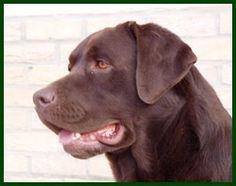 Chocolate Labrador (312×246)