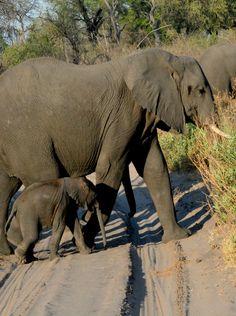 Botswana Kingspool elephant herd with young (Wil 3680)