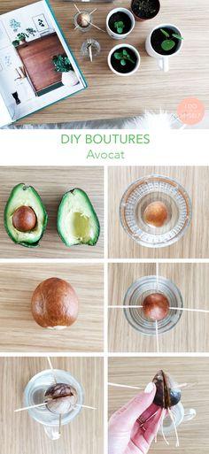Les boutures pour débutants : comment faire germer un noyau d'avocat Cactus, Avocado Smoothie, Avocado Recipes, Dream Garden, Deco, Diy And Crafts, Create, Avocado Toast, Origami