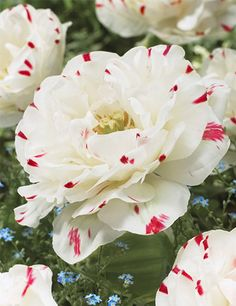 8054dc39a A Dancline of lovely white petals acented with bright red pink markings  will dance into your garden this Spring. Danceline Double Tulip will bloom  later in ...