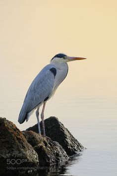 Grey Heron, The Great Outdoors, Bird, Amazing, Ash, Animaux, Birds, Outdoor Living, Outdoors