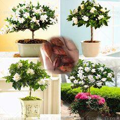 2pcs/bag Gardenia Bulbs (Cape Jasmine ) bonsai flower bulbs smell & beautiful flowers potted plants for home garden