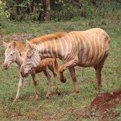"""Red & White Zebra?!"" - photo by Joao Amado, via 500px;  leucistic zebras     ...link no longer works..."