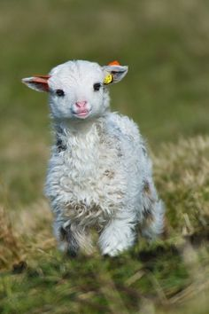 How cute is this little lamb?