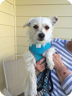 Seattle, WA - Cairn Terrier/Terrier (Unknown Type, Small) Mix. Meet Nate, a dog for adoption. http://www.adoptapet.com/pet/12806214-seattle-washington-cairn-terrier-mix