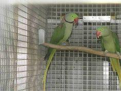 LOST ALEXANDRINE: 30/10/2015 - Campbelltown, New South Wales, NSW, Australia. Ref#: L23655 - #ParrotAlert #LostBird #LostParrot #MissingBird #MissingParrot #LostAlexandrine #MissingAlexandrine