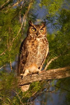 Birds ©: Great Horned Owl at Sunrise [by D. Beautiful Owl, Animals Beautiful, Cute Animals, Owl Photos, Owl Pictures, Owl Species, Nocturnal Birds, Great Grey Owl, Power Animal