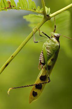 Bornean Katydid (photo by Arddu)