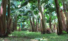 Guadeloupe's quirky Banana Museum - Rachel's Ruminations