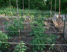 staking tomatoes (and peppers, too) with stakes and twine