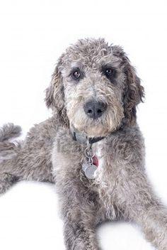 Standard Poodle Great Dane Mix