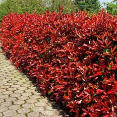 The Photinia Red robin hedge plant (Photinia x fraseri) is a marvellous alternative choice for an evergreen hedge because of its brilliant red glossy young leaves, which give a spectacular display in spring and summer before maturing to dark green. Photinia Red Robin, Red Tip Photinia, Photinia Fraseri Red Robin, Fence Landscaping, Backyard Fences, Garden Fencing, Hedging Plants, Garden Shrubs, Red Robin Hedge