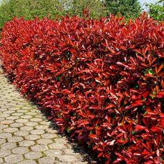 Photinia fraseri Red Robin haag (Glansmispel)