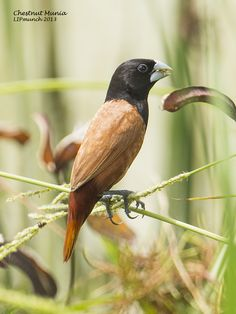 Moluccan Munia Lonchura Molucca Birds Pinterest