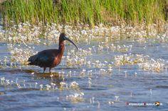 Dónde ver aves en el Algarve, Portugal - via Naturaleza y Viajes 16-01-2017 | El birdwatching, del que os hablé en este artículo que publicamos hace un par de meses, se basa en la observación y el estudio de las aves silvestres. Casi 300 especies de este grupo de vertebrados (entre rapaces, marinas, limícolas, anátidas, paseriformes y otras) se dan cita en este territorio repartidas a lo largo de todo el año. Foto: Morito común Algarve, Portugal, Bird Watching, Colors, Places, Animals, Beautiful, Wild Birds, Vertebrates