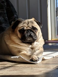 Another sunny pug Like Animals, Cute Funny Animals, Funny Animal Pictures, Pug Wallpaper, Pug Meme, Black Pug, Cute Pugs, Baby Dogs, I Love Dogs
