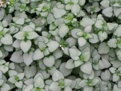 Lamium White Nancy has white blooms and is a fast-spreading groundcover.  Lamium is primarily grown for it's foliage of silvery-green leaves. Size: #4.5 Spacing: Plant 18″ to 24″ apart. Height: Grows 6″ to 8″ tall. How To Grow: Plant in sun or shade. Outstanding Features: Stems will root into the ground where they lay but are easily divided. Lamium is deer and rabbit resistant. It is also heat tolerant. Tips: Water regularly but do not over water.