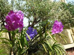 Orquídea Wanda