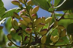 Pistachio trees thrive in climates with hot summers and relatively cool winters. Although we think of pistachios as nuts, the delicious, nutritious treats are actually seeds. If you're wondering how to harvest pistachios, it isn't difficult. Click here to find out.