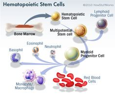 Hematopoietic Adult Stem Cells via HowStuffWorks