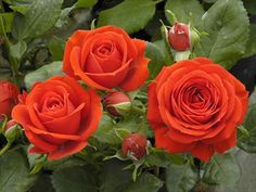 ROSES RED MEILLANDINA