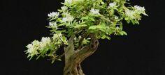 bonsai_yamadori